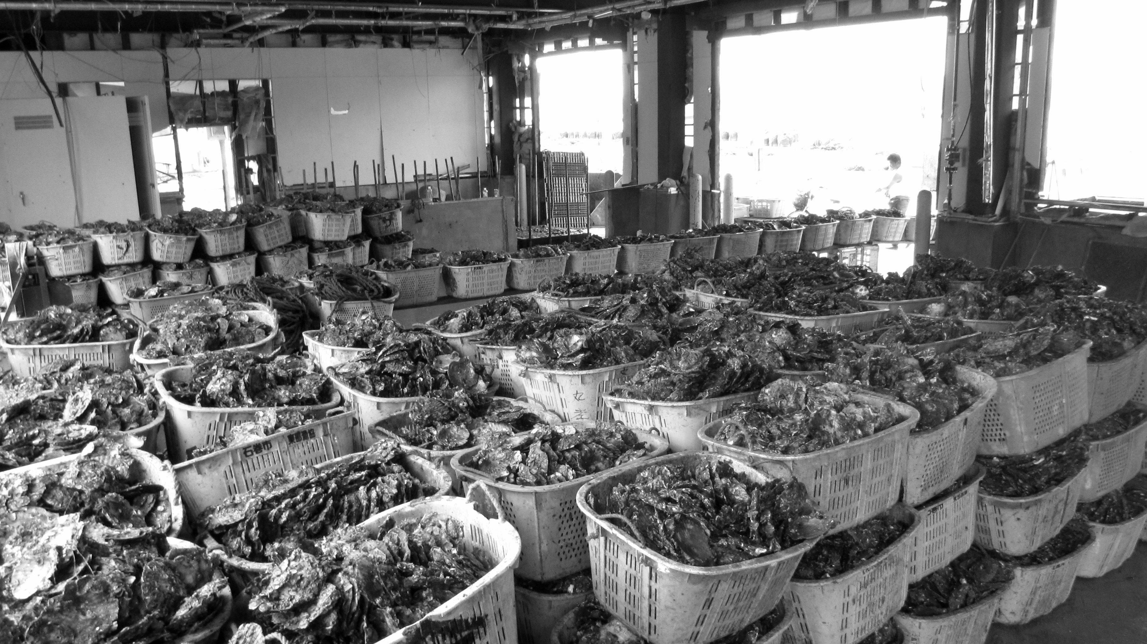 Japan, Ishinomaki, Kobuchi-hama, Kobuchihama, fishing, oysters, 3.11, 2011, March 11, recovery, efforts