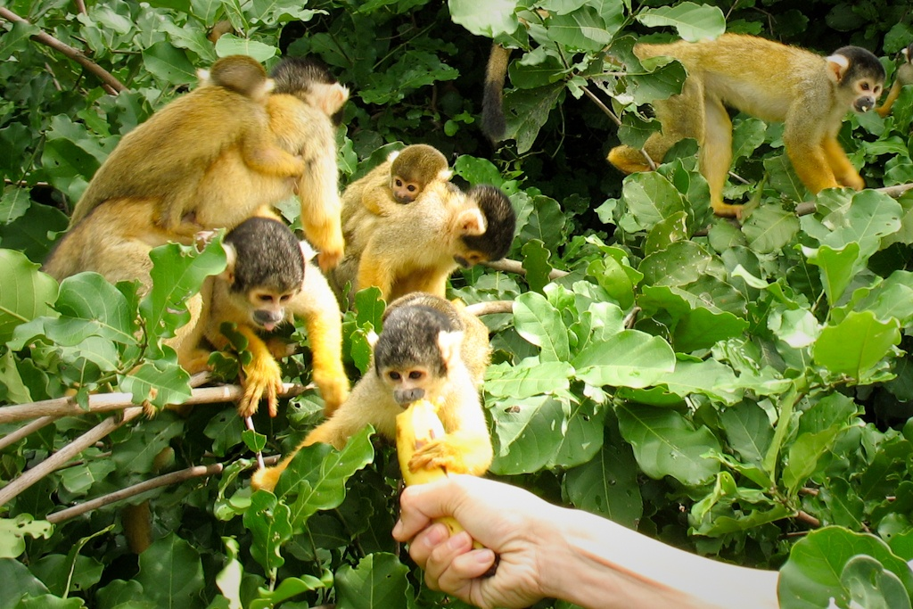 Squirrel monkeys, Pampas, Bolivia