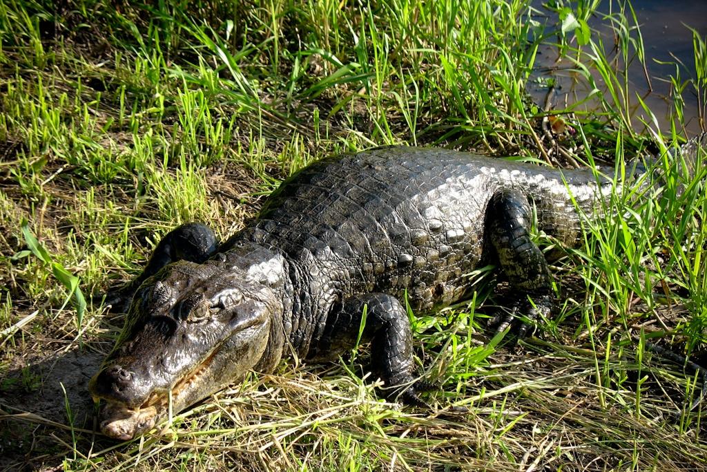 Alligator, Pampas, Bolivia