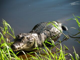 Alligator in the Amazon, Bolivia