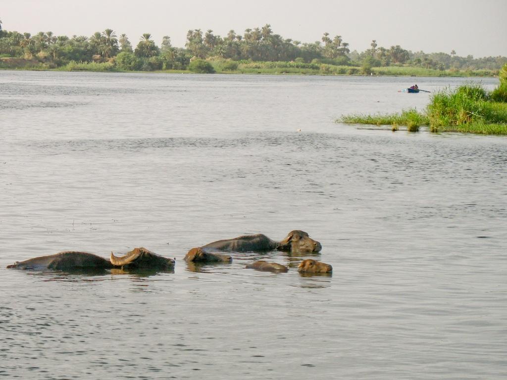 Water buffalo, Felucca Trip, The Nile, Egypt