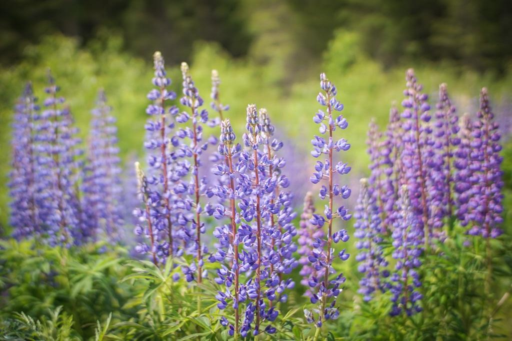 Wildflowers in summer, Finland