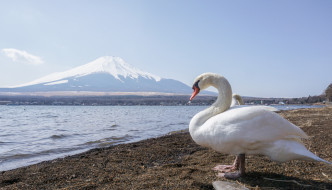 Mt. Fuji Yamanakako Swan
