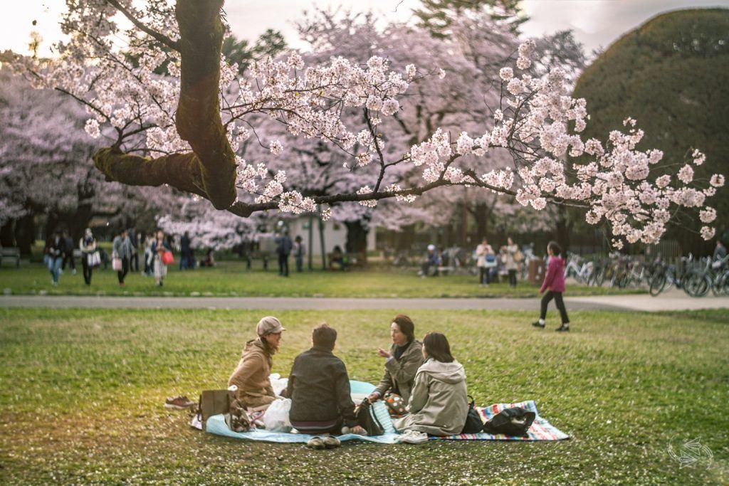 cherry blossoms koganei park tokyo