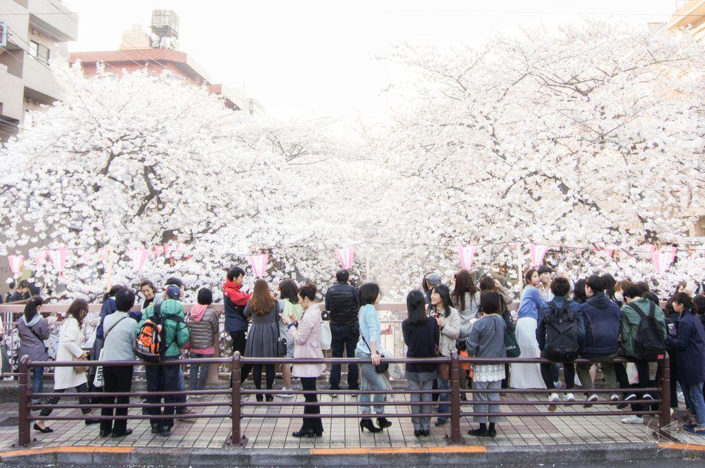 cherry blossoms meguro river nakameguro tokyo