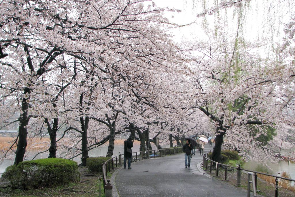 cherry blossoms ueno park tokyo