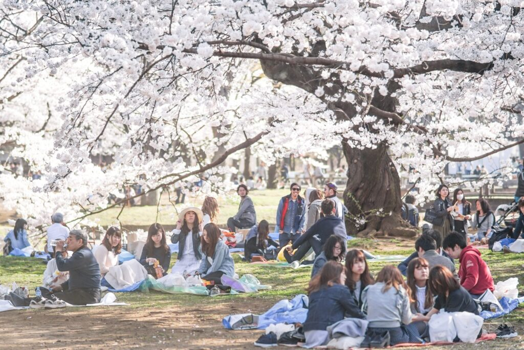 cherry blossoms yoyogi park tokyo