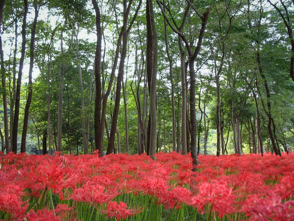 Manjushage, Red Spider Lily