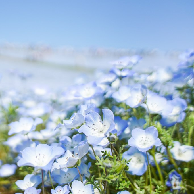 Nemophila, Baby Blue Eyes