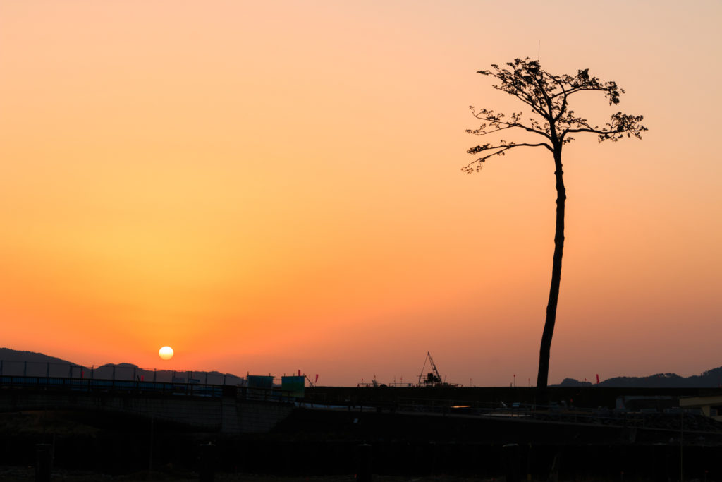 rikuzentakata miracle lone pine tree