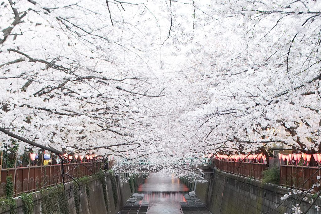 Sakura, Cherry Blossoms