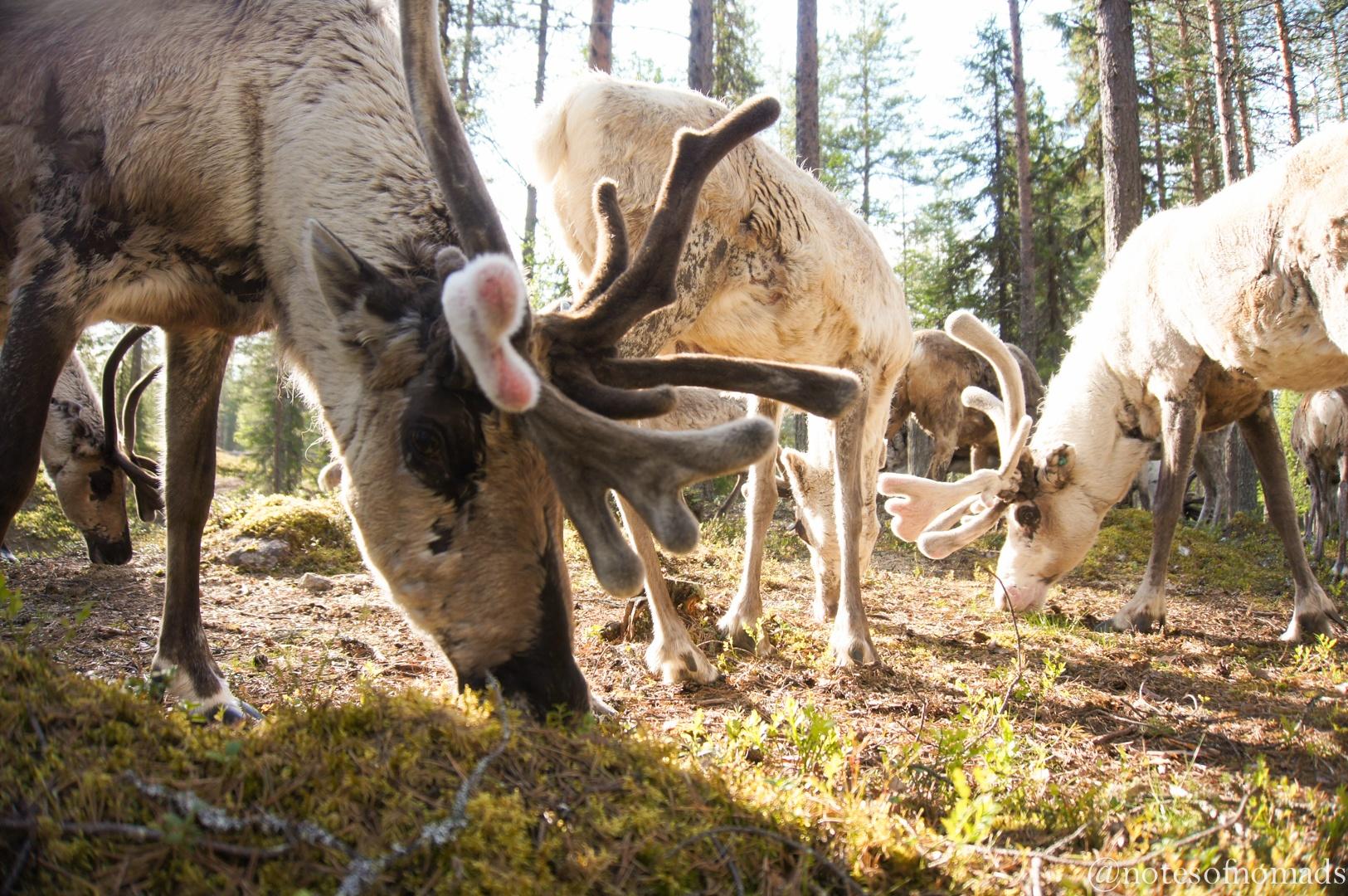 Salla Reindeer Park, Finland