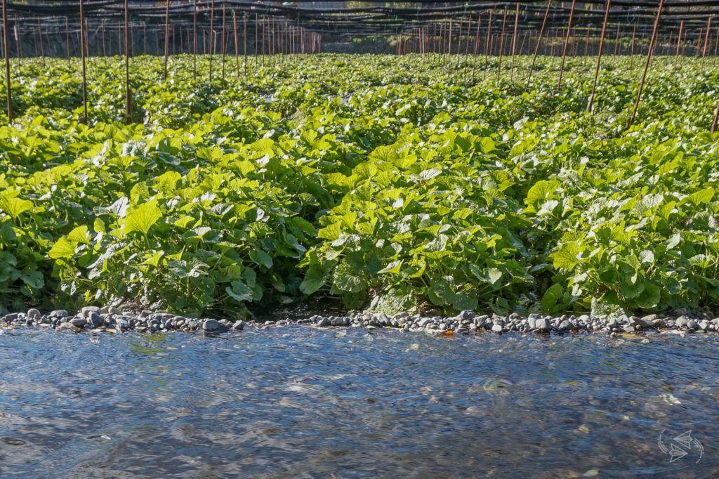 Daio Wasabi Farm, Japan