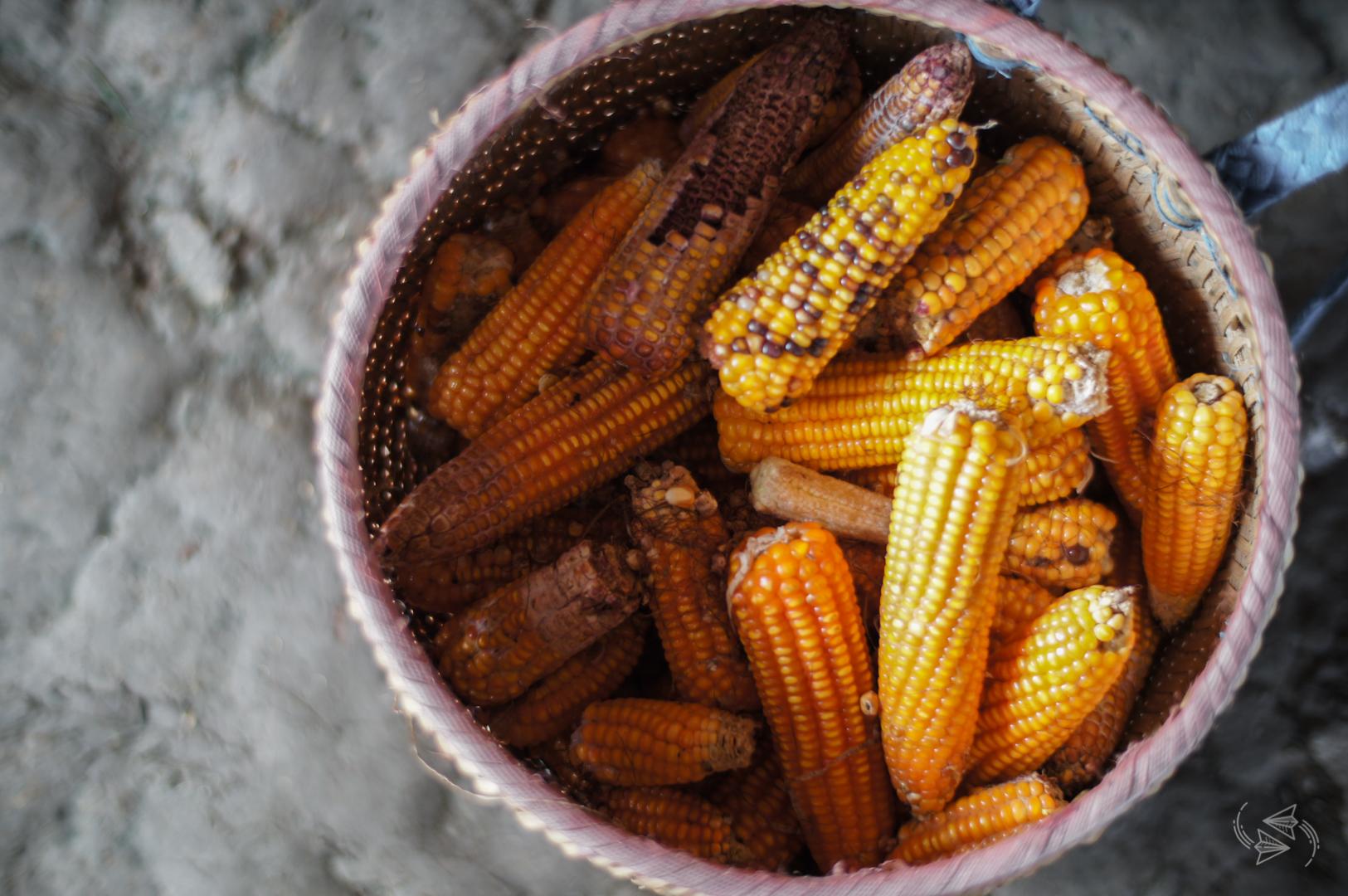 corn harvest sapa vietnam
