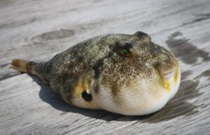 A photo of a puffed up fugu fish with a grey spotted top, white underbelly and green eyes lays atop a wooden surface. Photo by Brian Yurasits (Unsplash).