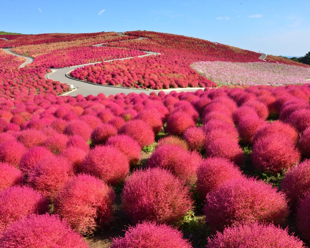 hitachi seaside park kochia, red flowers, red plants, ibaraki
