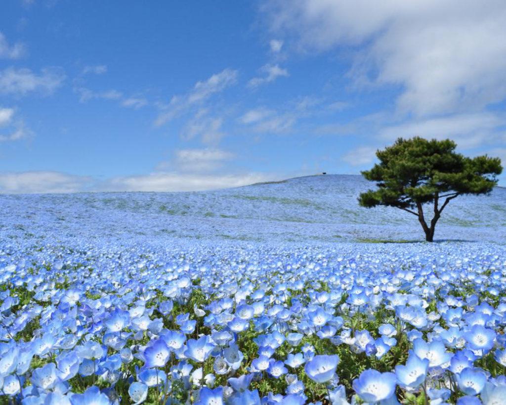 hitachi seaside park nemophila ibaraki, baby blue eyes, blue flowers