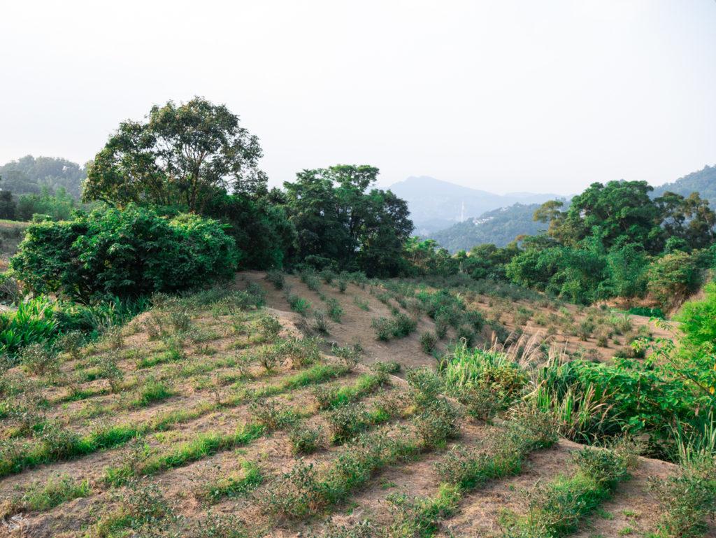 Camphor Tree Trail Maokong Tea Plantations Taipei