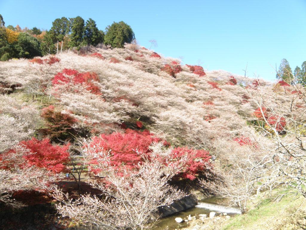 obara cherry blossoms