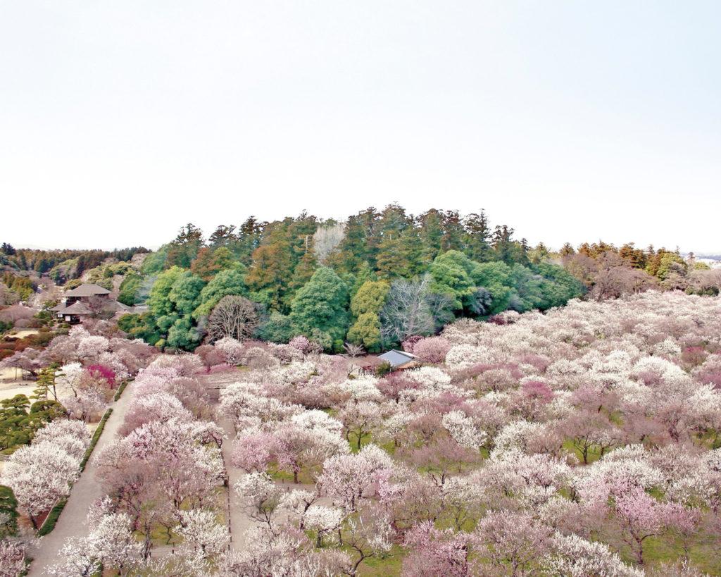 plum trees kairakuen garden mito ibaraki