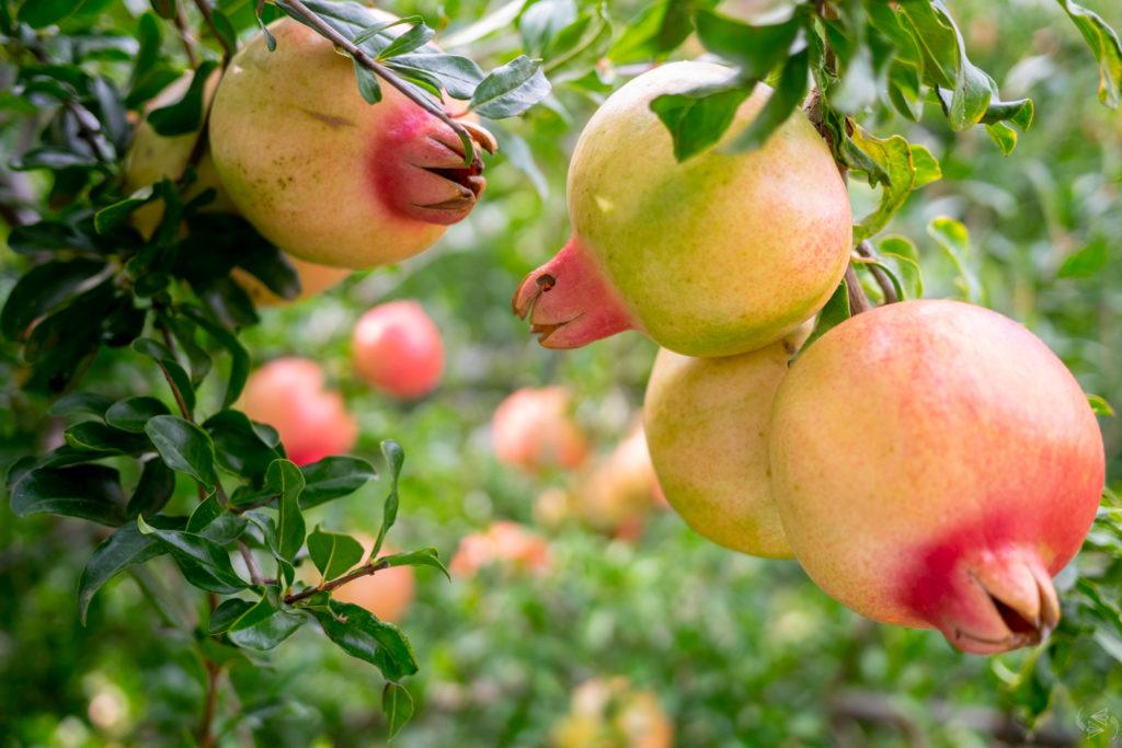 Unripe pomegranates on the tree.