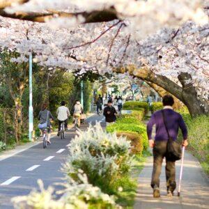 cherry blossoms, japan, tokyo