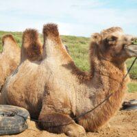 Camels, Semi Gobi, Central Mongolia