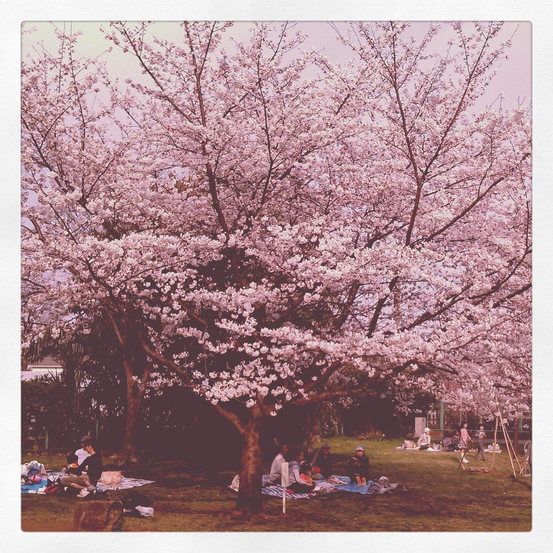 hanami, cherry blossoms, japan, tokyo, park